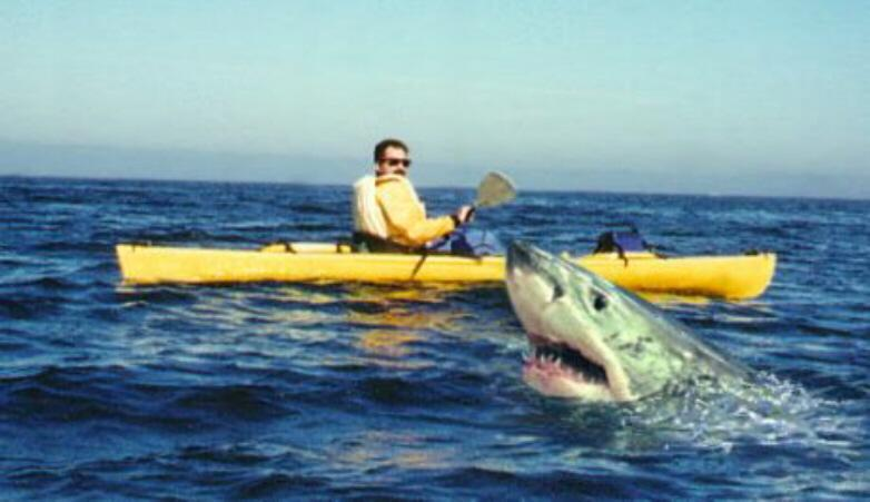 Australia shark cull: Government destroys 50 sharks in trial programme – but fails to catch a single great white blamed for fatalities Great_white_watching