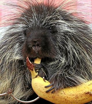 Porcupine_eating_022811_130412