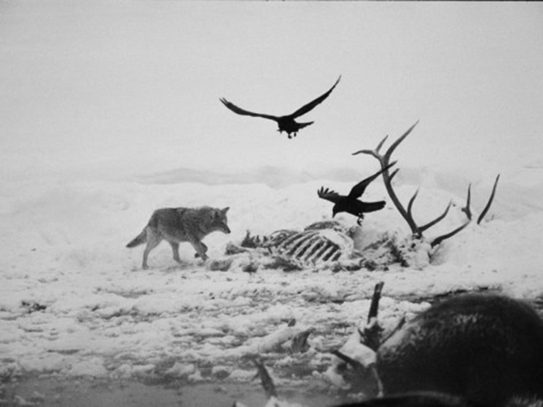 michael-s-quinton-an-elk-carcass-becomes-a-snowy-buffet-for-a-coyote-and-two-ravens